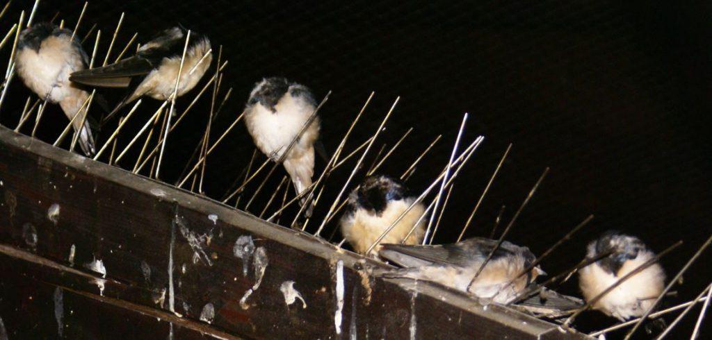 Rauchschwalben Nest voll besetzt 2016